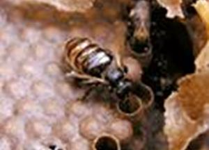Bees found farming fungus for first time to feed larvae
