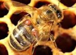 Some honeybee colonies adapt in wake of deadly mites